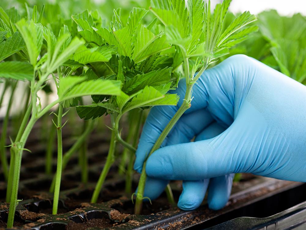 Linneo Health medical cannabis