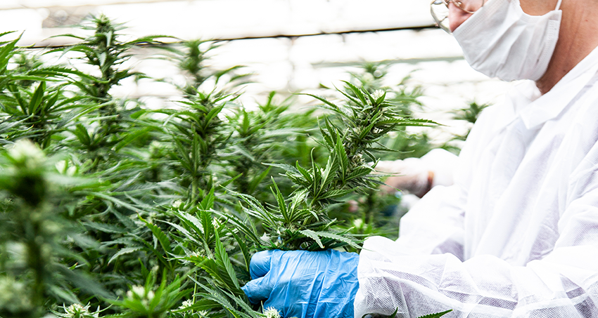 Linneo Health cultivo cannabis medicinal
