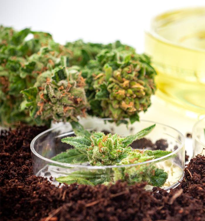 Flor cannabis medicinal Linneo Health